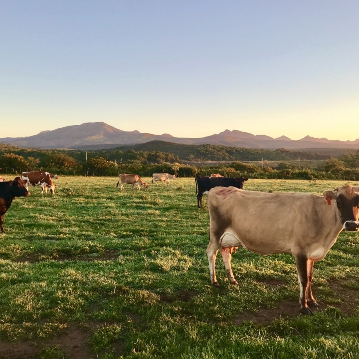 Larger group of cows in a sunny field